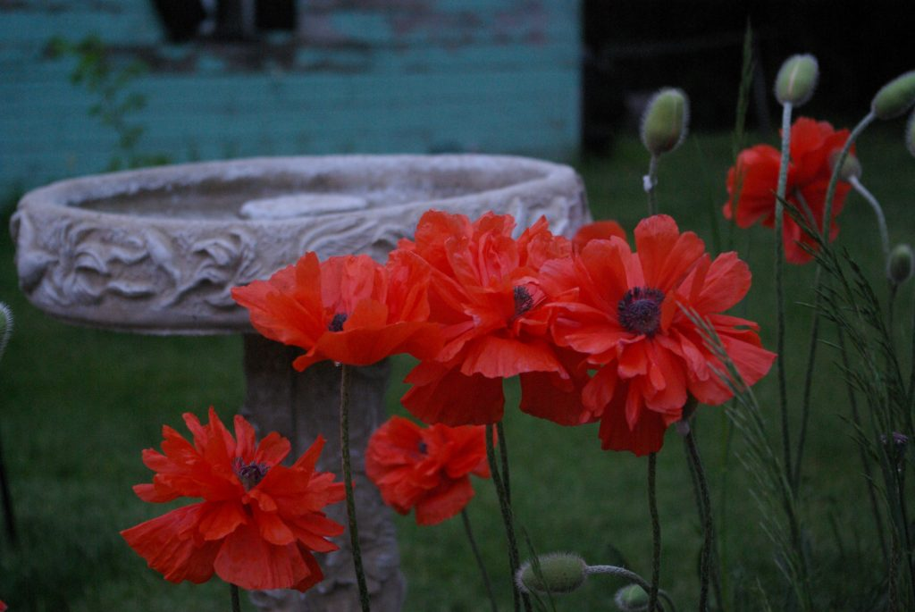 poppies, journeys in grace, rest